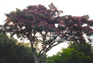 Summer Mimosa